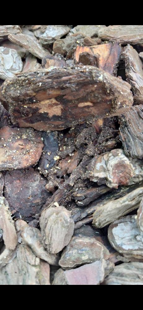 この白い卵のような物は何ですか? 椿の木の根元のバークチップの中で発見しました。アリが群がっていました。