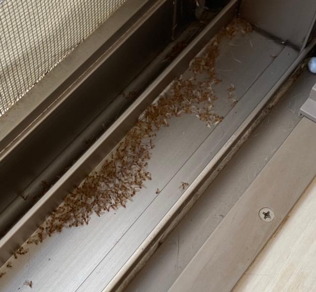 教えてください! リビングの窓を開けて網戸にしようとしたところ、サッシのところに虫の死骸がびっしりありました...これはなんの虫でしょうか?普通に掃除機で吸って良いのでしょうか? また、対策方法等教えていただきたいです。よろしくお願いいたします(T_T)