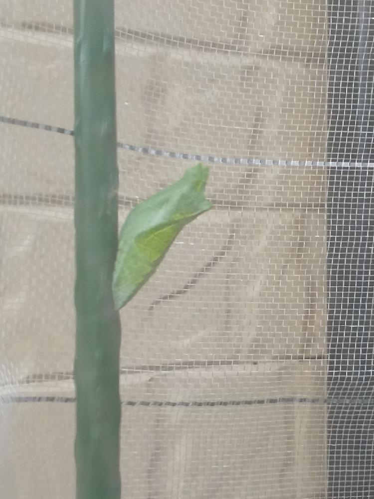 東京の板橋区ですが9月12日に歩道を這っていたナミアゲハの幼虫を保護して我が家のミカンの植木にとまらせたら葉っぱを食べたあとに9月14日に蛹になりました。 季節の切り替わる微妙な時期で夜は20度位に肌寒いですが昼はポカポカです。 この夏に連続で何匹かが鳥や天敵にやられたので植木の回りに支柱立ててネットで囲いましたらその支柱で蛹になりました。 何回か夏に羽化させてるのですがこの時期は初めてで見守りたいと思ってます。 この時期の蛹は越冬タイプなのでしょうか?