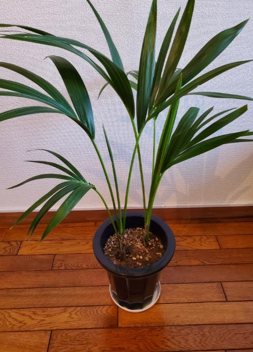 この観葉植物の種類を教えてください。