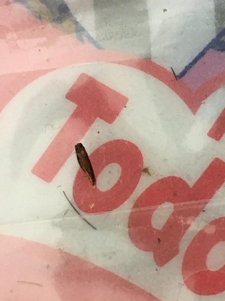 これはなんて虫ですか?洗濯機の中に入っていました。 湿気で濡れてしまってる上に変色しているかもです。 シロアリでは無いですよね…? すごい不安です…