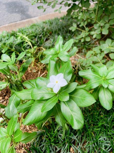 この白い花の名前を教えてください。よろしくお願いします。