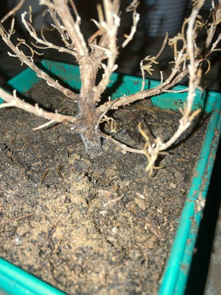 最近ローズマリーの苗を買ったのですが、気がついたら全部枯れてました。 そして根元にカビ?が生えてたんですけど、これは復活可能なのでしょうか? また可能な場合どうすればいいですか? 日本ではなく海外にいます。 気候は一年中暖かいです