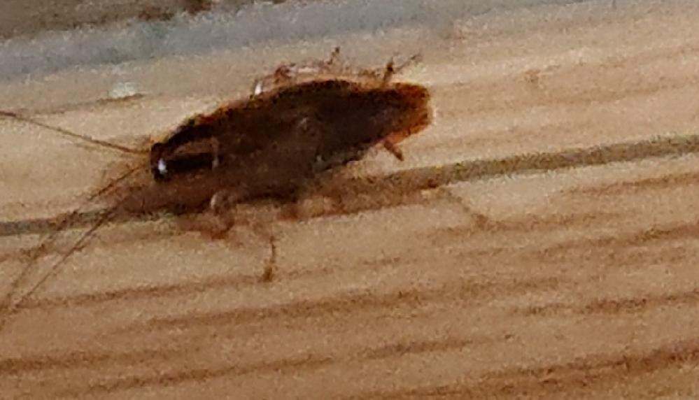 写真の虫の名前、教えてください。 体長1センチ程度の虫です。 ゴキブリだと思ってホウ酸ダンコを置いていますが全く効果なし! 逃げ足もさほど早くありませんので叩けば100発100中です。 洗剤原液をかけても昇天しません。 この虫は一体何という虫ですか? また駆除の方法も教えてください。