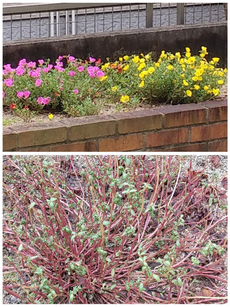 ポーチュラカの異常 今年初めてポーチュラカを植え、そこそこ花も咲いていましたが、8月が終わる前に、ダメになりました。(ビフォーアフターの画像をご覧ください。) ちょうど、長雨が続いた頃に、このような状態になりました。 育て方としては、ほとんど水やりはせず、2週間に一度くらい、軽く活力剤と液肥を与えていました。 考えられる原因を教えてください。