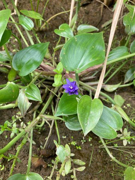 この花の名前を教えてください。田んぼに咲いていました。