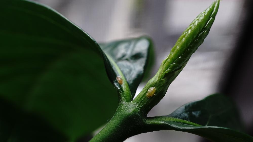 こんにちは。 当方くちなしを栽培しているのですが、葉っぱに虫か卵かついてしまっているのですが、調べても何かがわからず困っています。お知恵をお貸しいただけませんでしょうか? 環境としては、室内で栽培しております。(一度室外で栽培しましたが、虫食われがひどく、室内に入れました。食われたときに、青虫などの虫はついておらず、羽がついた虫なのかなと推測しました) よろしくお願いいたします。