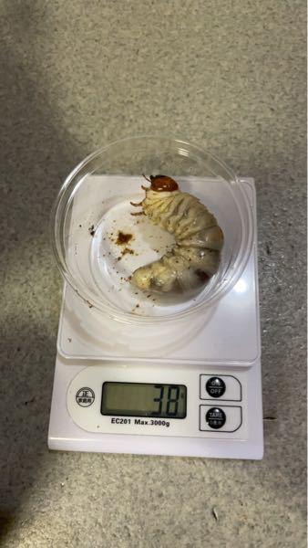 パラワンの幼虫なのですがこれってオスですか? 写真は横からしか無いです。 横からでも判断出来る方回答お願いします。