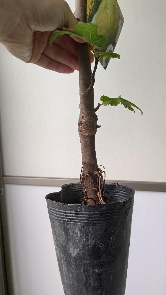 イチジクの栽培についての相談です。 先週ロングドゥート(バナーネ)の苗をかいました。根の先から樹の天辺までの全長は77cm、育苗ポットは5号ロング、畑ぼりなのか幹は太いです。鉢植えで育てるつもりです。 質問は2点。 まずポットから はみ出ている根の部分が約5cmあります。ここは土に埋めるのでしょうか。埋めたら深植えになるのでしょうか。 二つ目は最初の質問と関連しますが、どのサイズの鉢が適当でしょうか。8号スリット鉢に置いたところ、今の土の高さまで埋めると根鉢の下は3cmくらい。底に赤玉を敷くと余裕がありません。そこで7号深鉢を考えたのですが浅根性のイチジクに深鉢は向くのか、9号スリットの方が良いか悩んでいます。もちろんもう5cm深く植えるとなれば更に大きくなりますが根腐れしそうで怖いです。