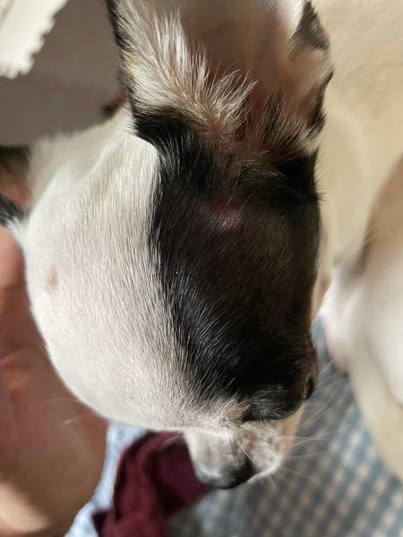 初めまして。同じような方がいましたら教えて頂けたら幸いです。 1ヶ月程前から愛犬のスムースチワワの頭2箇所にコリコリとしたイボ?のような出来物のような物が出来てしまいました。大きさは直径3ミリ程...