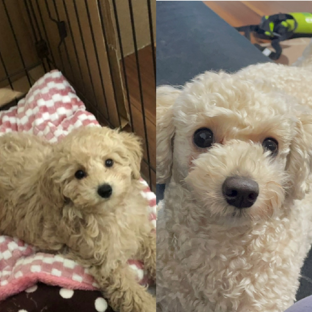 子供が生まれたからと安値で買取ました。 引き取った時は三ヶ月くらいで小さく タイニープードルと言われました。 でも、タイニーは小さいのに日が経つにつれ 大きくなっていき、一年半たった今7kです。 コッカプーだと思うんですが分かりません。 愛犬の犬種が知りたいです。 わかる方教えて頂きたいです! 小さい頃と一年半経った今の写真です!