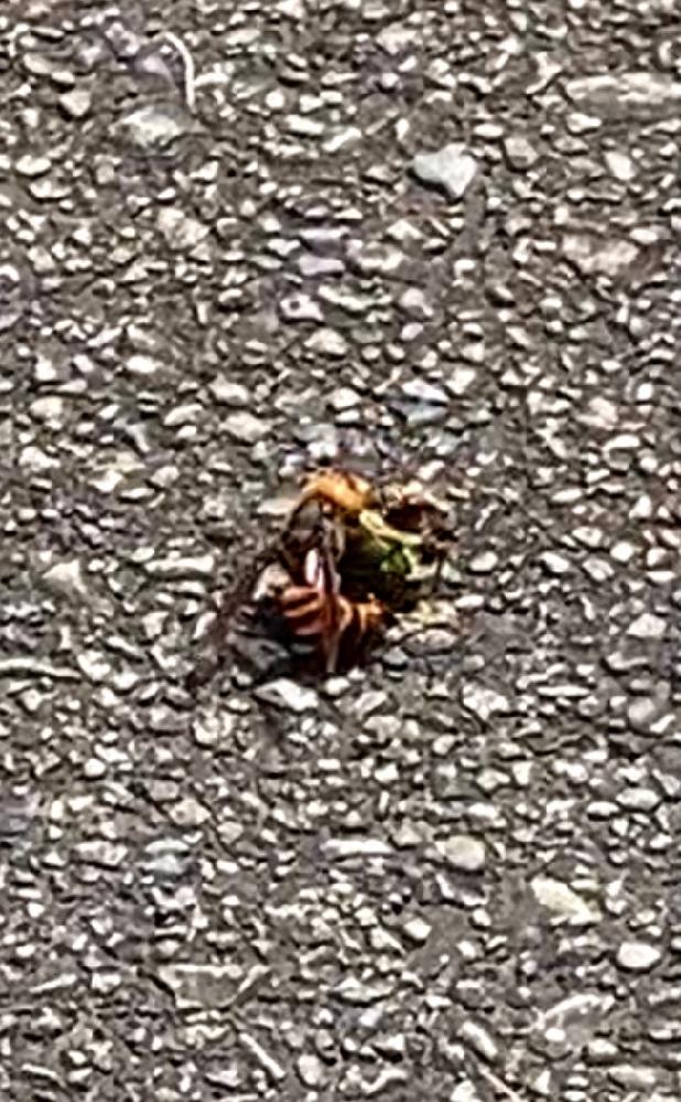 この蜂の種類はなんですか? カナブンを捕食してました。 カナブンよりも大きかったです。