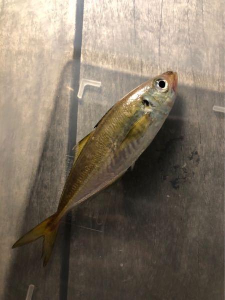 大至急お願いします!この魚は何ですか❓