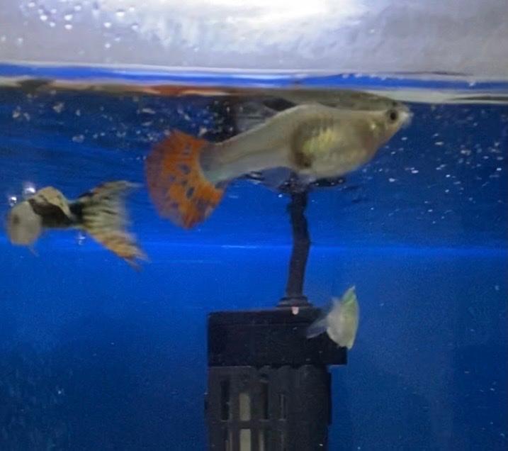 熱帯魚初心者です。 メスグッピーなんですけども妊娠してますか❔ またオスグッピーに追いかけ回されてるので心配です。 その場合は水槽を別にした方がいいですか❔