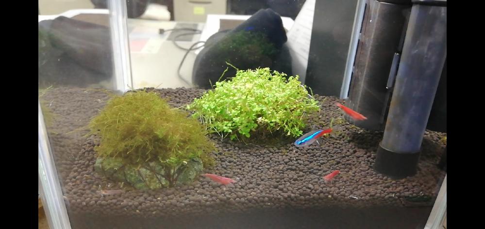 アクアリウム初心者です。 20センチ水槽でレッドチェリーシュリンプ5匹とネオンテトラ1匹を飼育してます。 流木を入れようかと思っているのですが、水質が弱酸性に振れるとネットで読みました。 えび水槽には流木は入れない方がよいのでしょうか?