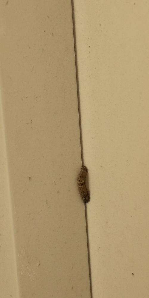 ベランダに写真の毛虫が出ました。体長1cmほどでの大きさです。部屋は一階にあり、目隠しのための木が植えれております。木の種類は分かりません。 2年ほど住んでおりますが、初めて気付きました。(スリッパについていた毛虫の毛で痛みと痒さを感じたために毛虫の存在に気付きました。) 今は、キンチョールをベランダ全体に吹きかけ、様子を見ております。 毛虫の情報と駆除方法が他にありましたら、教えてください。よろしくお願いします。