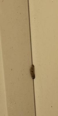 ベランダに写真の毛虫が出ました。体長1cmほどでの大きさです。部屋は一階にあり、目隠しのための木が植えれております。木の種類は分かりません。 2年ほど住んでおりますが、初めて気付きました。(スリッパについていた毛虫の毛で痛みと痒さを感じたために毛虫の存在に気付きました。) 今は、キンチョールをベランダ全体に吹きかけ、様子を見ております。 毛虫の情報と駆除方法が他にありましたら、教えてください...