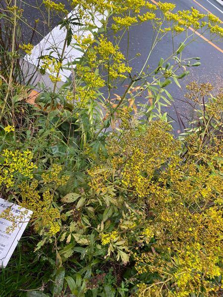 こちらの黄色と緑色の薄い枝葉と花の、植物の名前を教えてください。 植物カテゴリー皆さまの ご回答のほど、 お待ちしております。