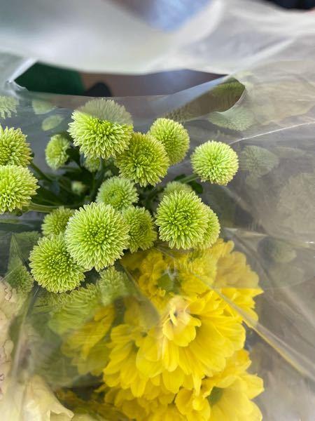 この緑のたんぽぽみたいな花ってなんという花ですか?