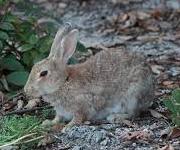 野ウサギは人を襲いますか?