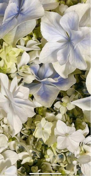 至急です この花の品種を教えて下さい