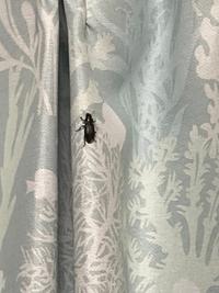 この虫はなんですか…  何度もゴキブリに苦しんできた私的には ゴキブリではないと思っているんですが…。  さっきたぶん窓から?侵入してきて、 「ブーン」と羽を軋ませていて、 カーテン沿いをとろとろ歩いていました。  ビビりすぎて部屋の中で見失ってしまい、寝れません。 何の虫なのかお教えいただけますと幸いです。