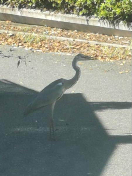 【写真あり】 大きな鳥がいたのですが、これは何の鳥ですか? 早稲田大学の所沢キャンパス付近です。