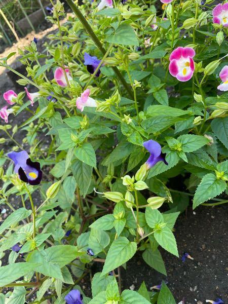 この花の名前を教えてください。種を植えていないのに生えてきて、どんどん繁殖しました。