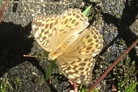 これは何というチョウでしょうか? 詳しい方よろしくお願いします。 ミドリヒョウモンのメスでしょうか? 側面からの画像がとれなくて残念です