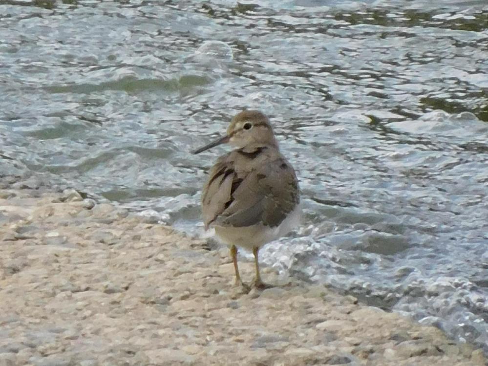この子は何と言う名前の鳥ですか?まだ子供の様に思うのですが…近所の河に居ました。