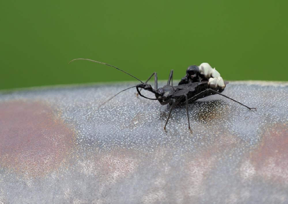 本日(9/19)、低い山の展望台でこの昆虫を見つけました。 図鑑などで調べて見ましたが、名前が分かりません。 お分かりの方がいらっしゃいましたら、ご回答の程よろしくお願い致します。