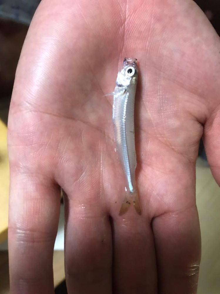 これは何の魚のあかちゃんですか??