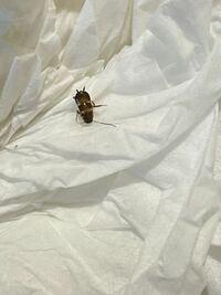 これはゴキブリの赤ちゃんですか? 対策を教えてください