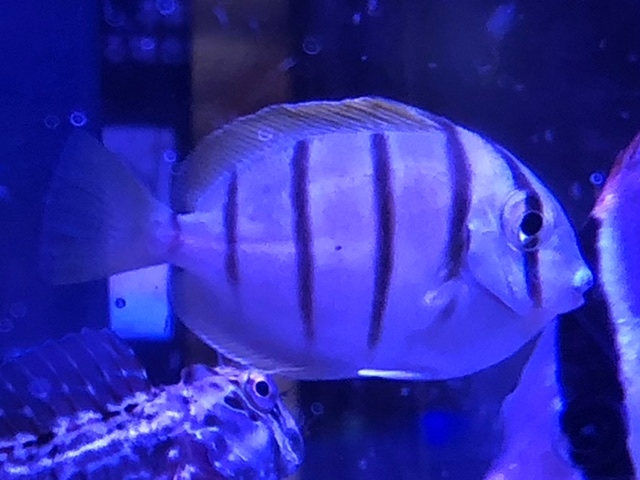 この魚の名前を教えてください。 白い身体にタテジマ模様です。 オヤビッチャのようなスズメダイ系ではなさそうです。 関東の磯で採集しました。よろしくお願いします。