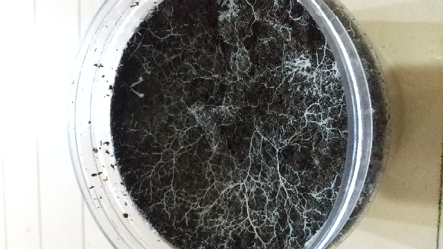 ブリーダーズマットでノコギリクワガタの幼虫を飼っているんですが20日ぐらいたった時に土に白い根っこのようなのがありました。大丈夫ですか? 宜しくお願いいたします。下に画像があります。