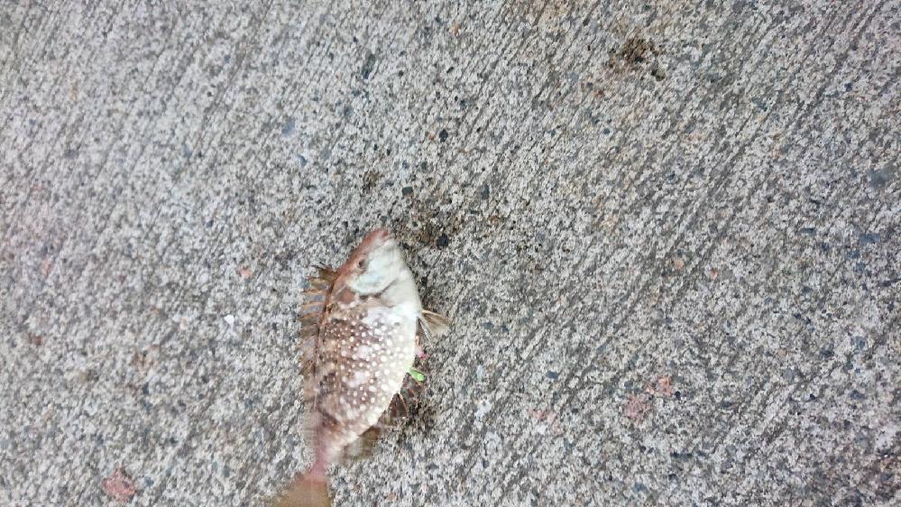 この魚はなんという魚でしょうか 茨城県の港で釣れました