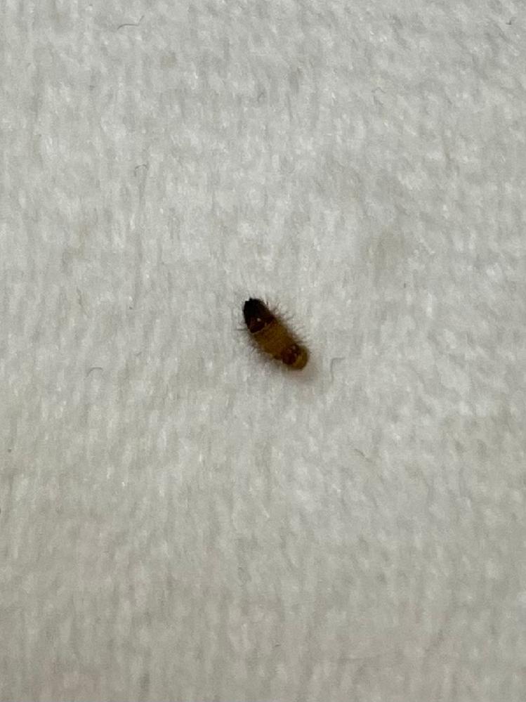 家のクッションに写真のような虫がついていました。米粒みたいな大きさです。ふわふわ?しています。なにかの幼虫でしょうか?家や体に害はありますか?