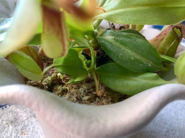 ウツボカズラについて質問です。 ウツボカズラの茎の根元が真っ黒なのですが、大丈夫でしょうか。変な臭いがしたりカビ臭かったりしてないし、葉や捕虫袋は元気に成長しているのですが心配です。 回答よろしくお願いします。