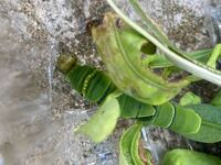 アゲハの幼虫を捕まえましたが、子どもが触ったためかもとからかわかりませんが、頭の方から何か出ています。 幼虫は元気そうですが、なんでしょうか? 頭を潰してしまったのでしょうか?寄生でしょうか?