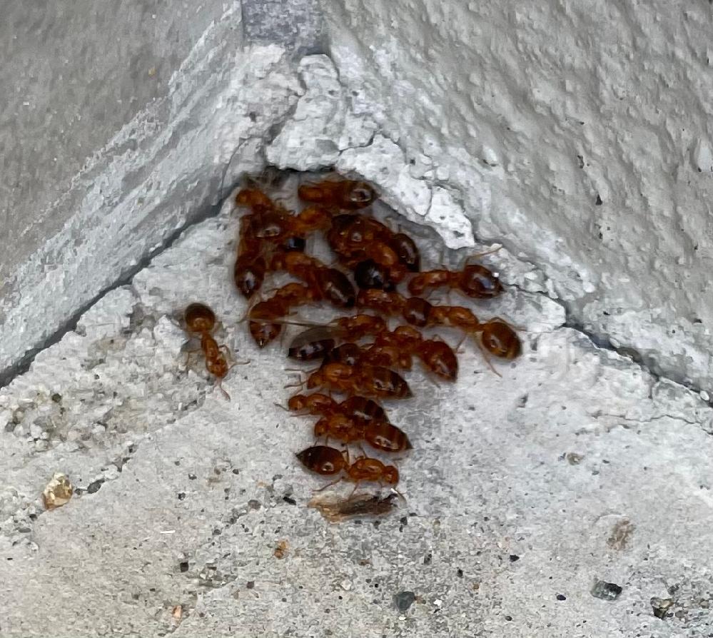 家の玄関先で写真の蟻がいました。 これはなんという蟻でしょうか? 害はありますでしょうか?