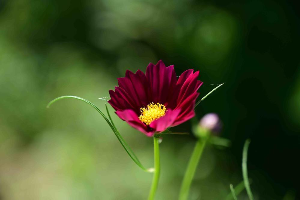 この花の名前を教えてください。 コスモスの仲間ですか?