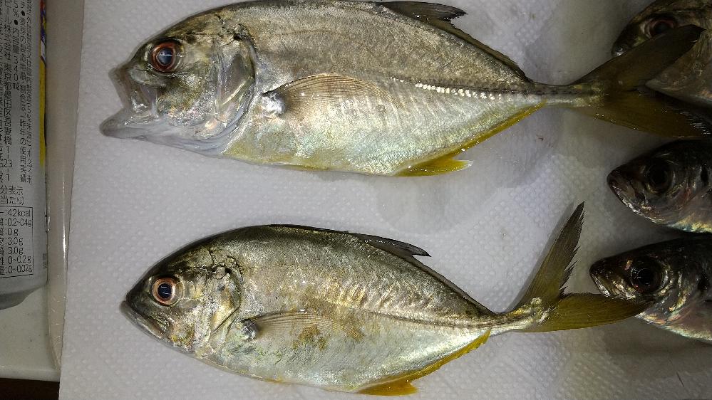 鹿児島県の志布志港でサビキ釣りをし、こんなアジが釣れました。が、調べても種類が分かりません。 同日に釣れたマアジとは色も大きさも違うようです。 なんという種類のアジか教えてください。 よろしくお願いいたします。