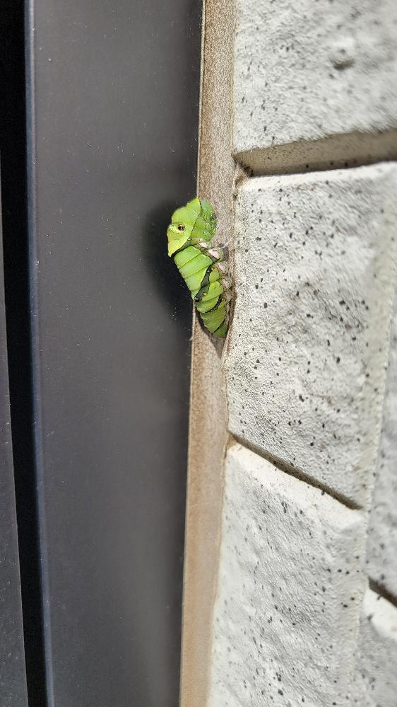 玄関のところに大きな画像の芋虫がサナギ?になろうとしてるみたいなんですけど、これってアゲハ蝶ですか?