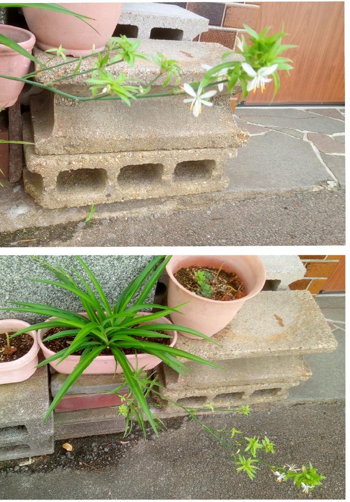 この植物は何でしょうか?白い6弁の花径2cm足らずの花を花茎につけます。