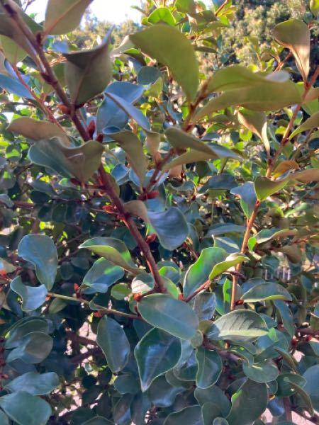 庭に植えた木の名前が分からなくなってしまいました。こちらは木の名前分かる方いらっしゃいますでしょうか?
