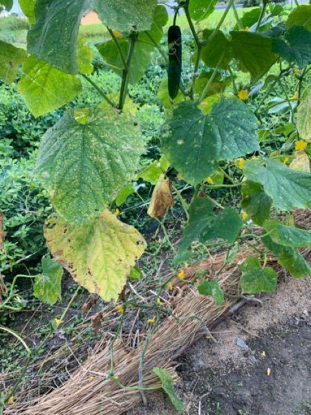 きゅうりの葉が、黄色く変色します。 ベト病でしょうか? 対処方法をお教えください。