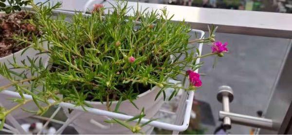 植物に詳しい方にお聞きしたいです。 この植物の名前わかる方おられますか?(><)