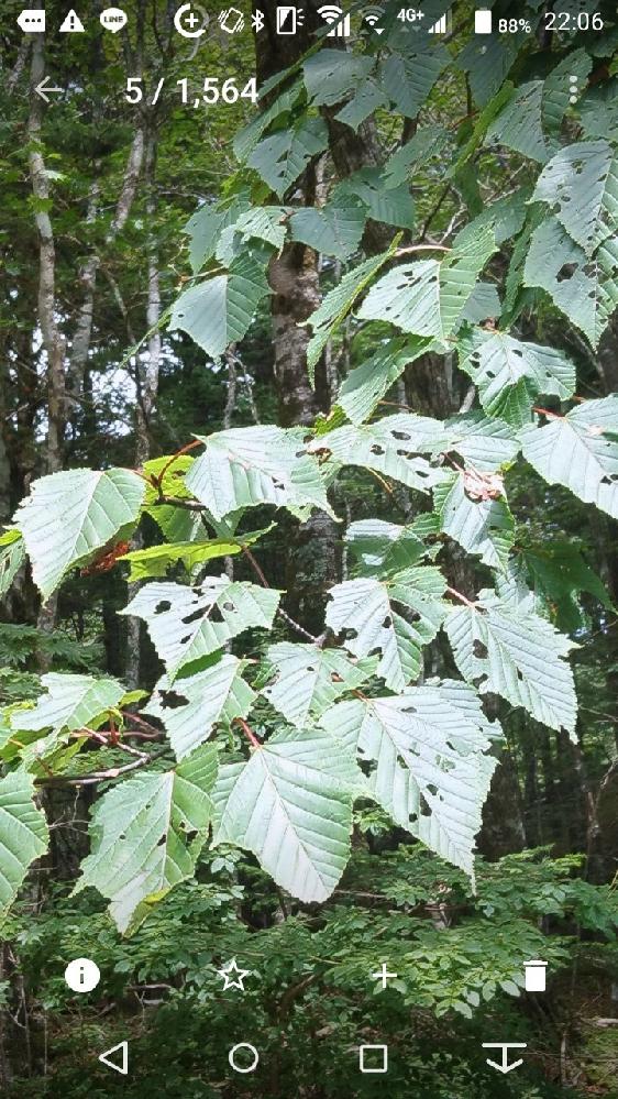 この葉の樹木名は何でしょうか? 静岡県内の標高1400m付近で撮影したものです。