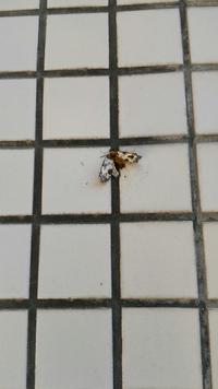 この蛾?なんですか? 悪影響ないですか? 大量に飛んでます。 怖いです。 教えてください。