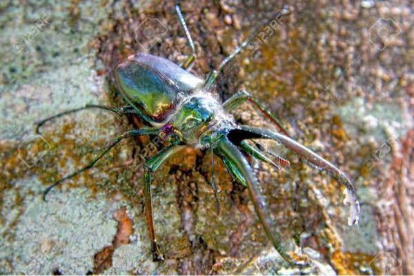 この昆虫美しいと思いますか? 至急です! ちなみに原産地はカナダの南部のみで、日本だと30万円ほどするみたいです。